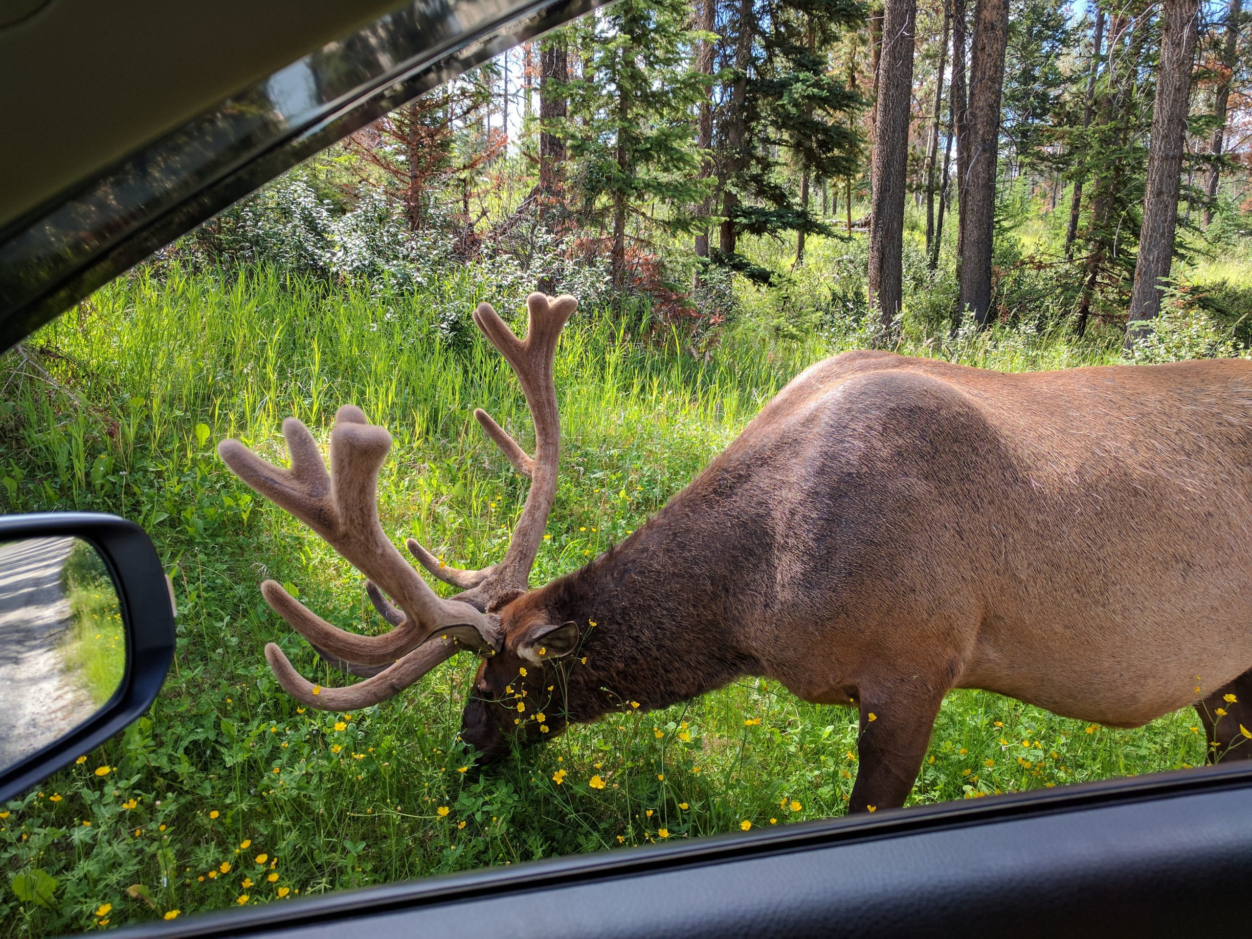 Banff Trip Planning: elk at the outskirts of Town of Jasper. Alberta
