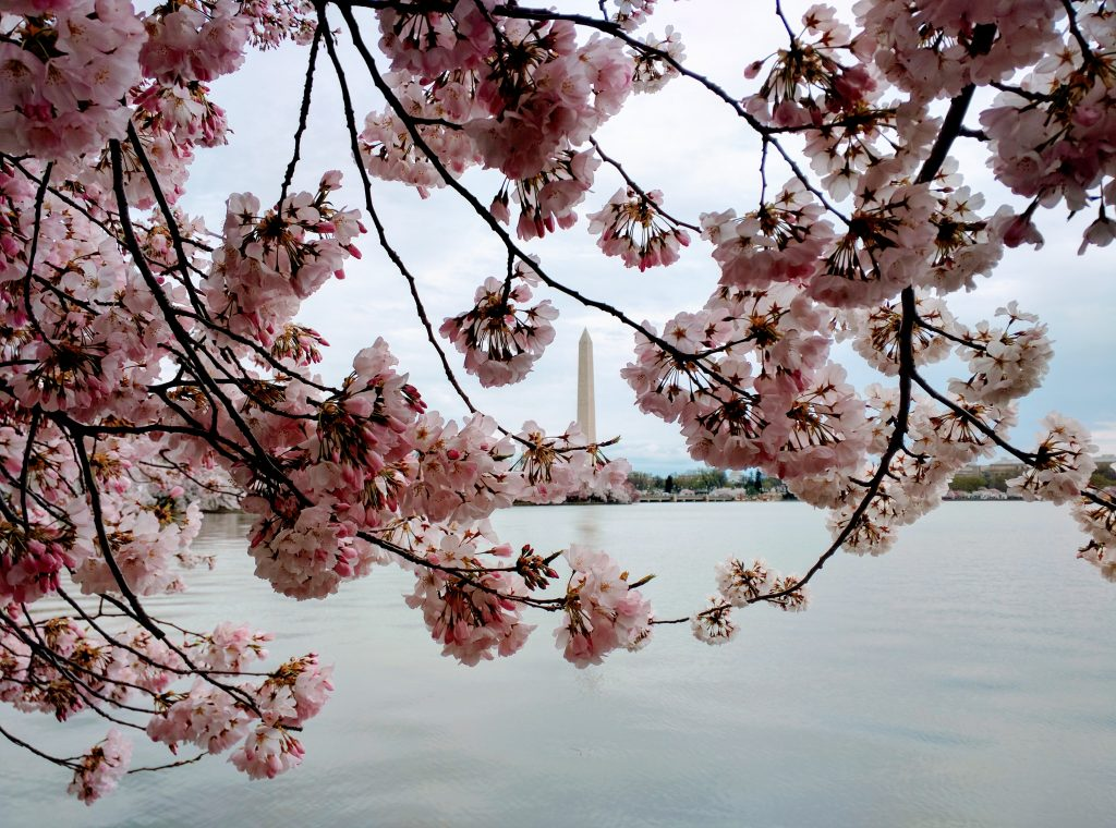 Tidal Basin during cherry blossom. Washington DC