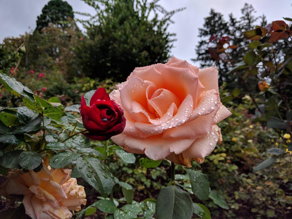 One of 550 rose varieties at International Rose Test Garden, Portland