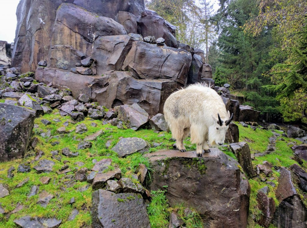 During our first visit to Portland, we felt like this goat: sad and completely wet. Oregon Zoo