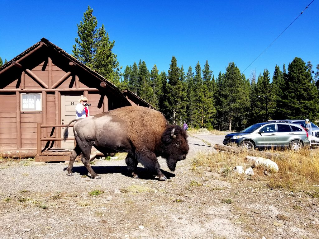We opted for cabins near the Lake Lodge cabins and... met bison in the morning
