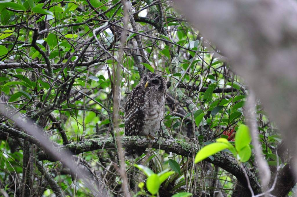 Such masters of camouflage, as this owl are hard to spot without ranger
