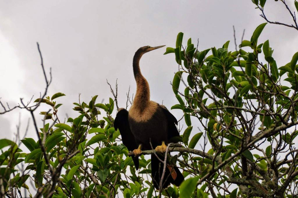 """The Trail named after Anhinga, the waterbird with many nicknames: """"Snake Bird"""", """"Darter"""", etc."""