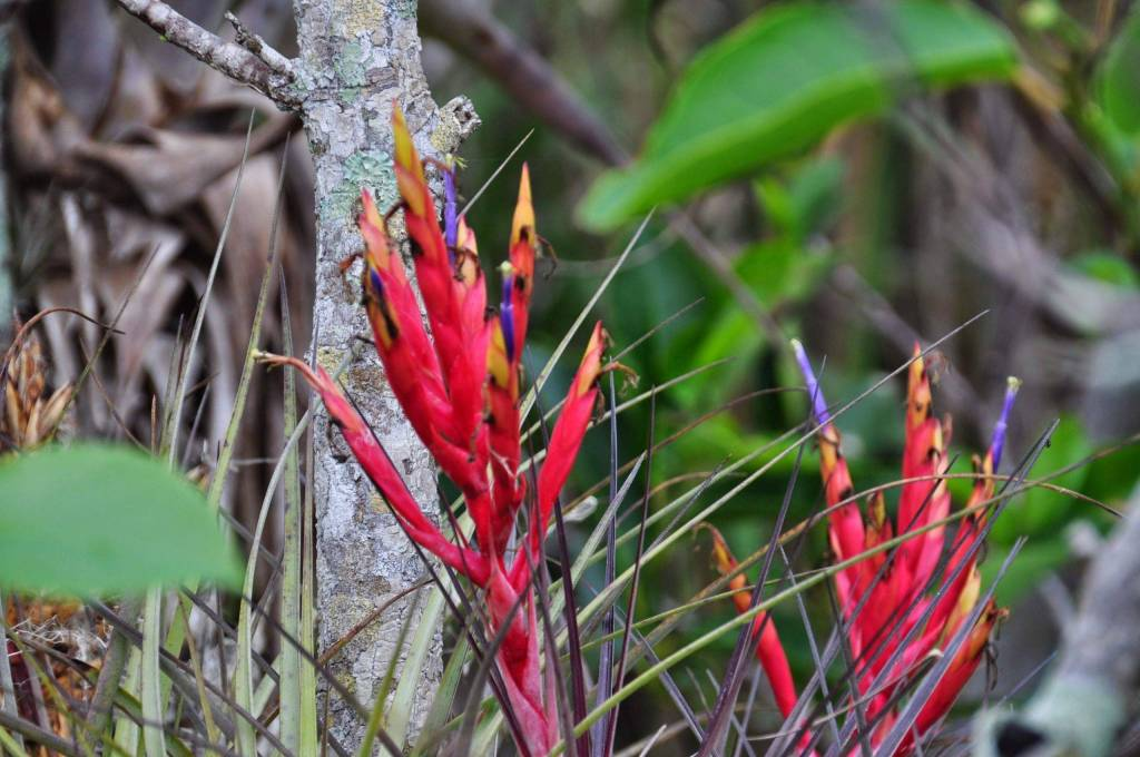 U.S. wildlife experience anhinga trail: Beautiful Cardinal air plant, endangered species. Partly because of illegal harvesting