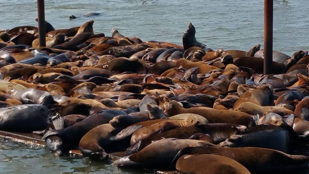 California sea lions at East Mooring Basin, Astoria